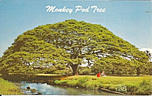 Hawaiian Monkey Pod Tree P37631