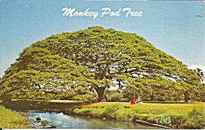Hawaiian Monkey Pod Tree p37631 (Image1)