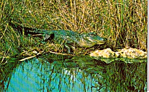 Alligator Everglades National Park Fl P37656