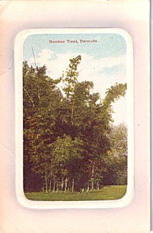 Bamboo Trees Bermuda  p37700 (Image1)