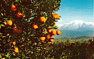 California Orange Grove Navel Orange Blossoms Postcard P38003