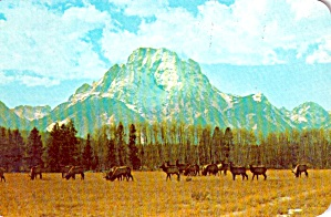 Herd of Elk  Mt Moran in Background Jackson Hole Wyoming P38013 (Image1)
