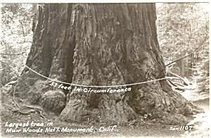 Largest Tree Muir Wood Real Photo Postcard p3801 (Image1)