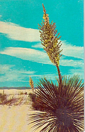 Yucca In Bloom On The Desert P38023