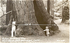 Redwood Tree Muir Wood Real Photo Postcard (Image1)