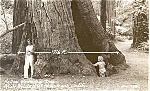 Redwood Tree Muir Wood Real Photo Postcard p3803 (Image1)