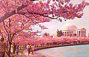 Jefferson Memorial At Cherry Blossom Time Washington Dc P38071