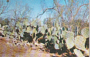 Prickly Pear Cactus Familar Scene In Southwest P38133