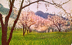 Apple Trees in Spring Blossoms P38246 (Image1)