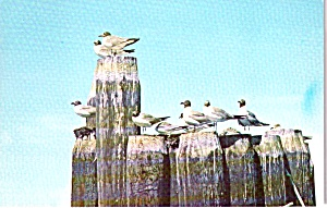 Outer Banks North Carolina Sea Gulls on Ferry Pilings P38285 (Image1)