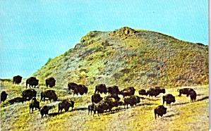 Theodore Roosevelt National Park Buffalo Herd p38332 (Image1)