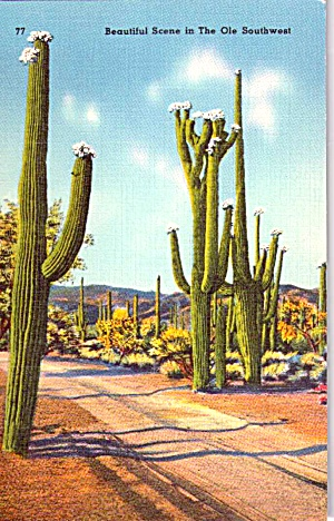 Saguaro Cactus In The Old Southwest P38359