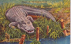 Florida Alligator Postcard P38376