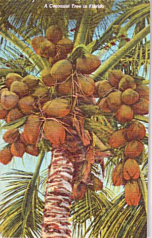 A Coconut Tree in Florida p38412 (Image1)