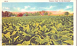Tobacco Field In Old Kentucky P38550