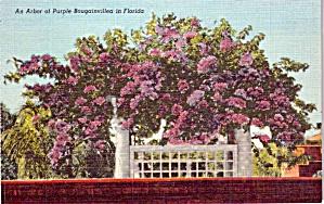 Arch of Purple Bougainvillea Florida p38630 (Image1)