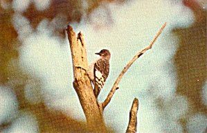 Red Headed Woodpecker Immature Postcard P38678