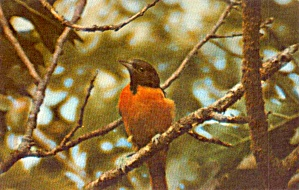 Baltimore Oriole Postcard P38679