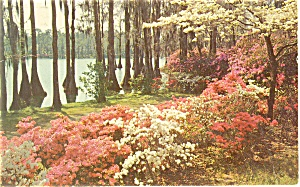 Azaleas and Dogwoods Postcard (Image1)