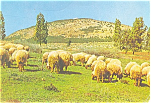 Sheep Mount Tabos Israel Postcard p3908 (Image1)