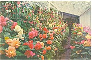 Butchart Gardens Begonias Canada Postcard p3984 (Image1)