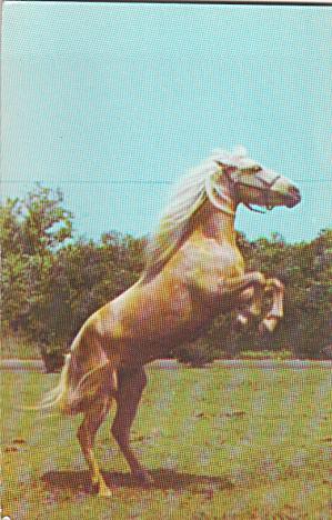 Chincoteague Pony son of Little Wisp Born 1964 p39986 (Image1)
