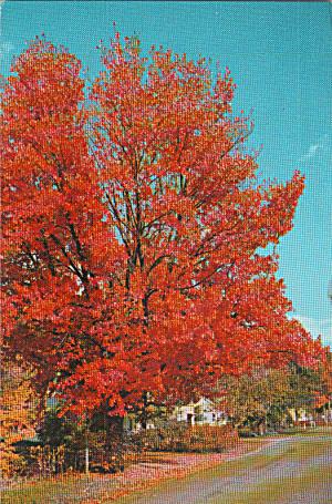 Tree in Beautiful Autumn Color Postcard p40238 (Image1)