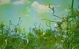 Egrets nesting in a Florida Sanctuaruies Postcard P40583 (Image1)
