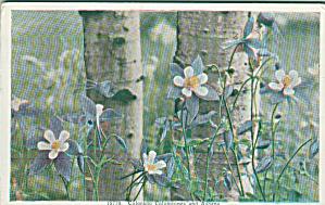 Colorado Columbines and ASpens Postcard P41114 (Image1)
