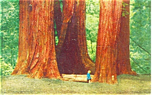 Redwoods in Muir National Monument Postcard (Image1)