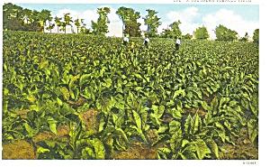 Tobacco Field K T Postcard p4401 (Image1)