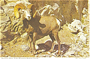 Mountain Sheep Canada Postcard P4602