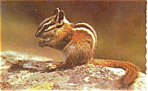 Chipmunk in Maine  Postcard p4739 (Image1)