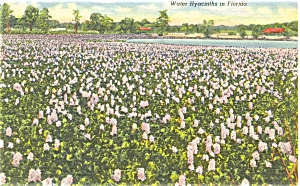 Water Hyacinths in Florida Postcard (Image1)