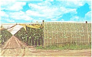 Connecticut Valley Tobacco Farm Postcard p5232 (Image1)