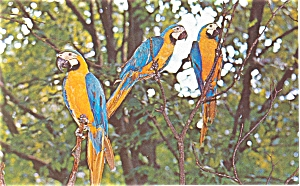 Blue and Gold Macaws Postcard (Image1)