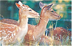 Fallow Deer Does Postcard p5719 (Image1)