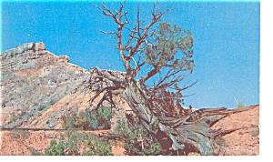 Amarillo, TX, Palo Tree in Palo Duro Canyon Postcard (Image1)