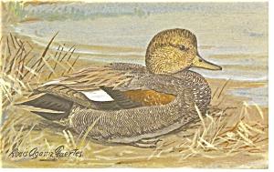 Gadwell Duck Postcard p7406 (Image1)