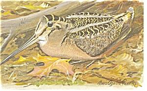 American Woodcock Postcard p7448 (Image1)