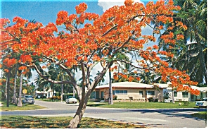 Royal Poinciana Tree In Bloom Postcard P7612
