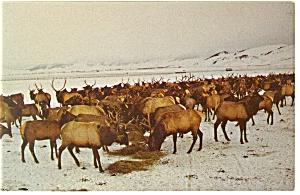 Elk Herd, Jackson Hole, WY Postcard (Image1)