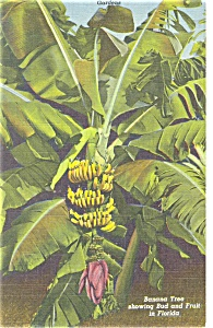 Sarasota , FL,Jungle Gardens Banana Tree Linen Postcard (Image1)