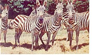 Catskill Game Farm Grant Zebra's Postcard (Image1)