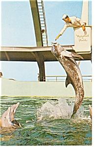 Marineland, FL Feeding the Pilot Whale Postcard p8002 (Image1)