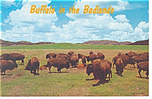 Buffalo in Badlands National Park SD Postcard p8025 (Image1)