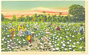 Busy Day in a Southern Cotton Field,Linen  Postcard (Image1)