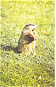 Groundhog at Groundy Groundhog Land Postcard p8599 (Image1)