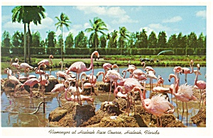 Flamingos at Hialeah Race Track Miami FL Postcard p8719 (Image1)
