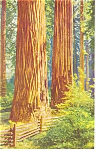 California Giant Redwoods Postcard p8739 (Image1)